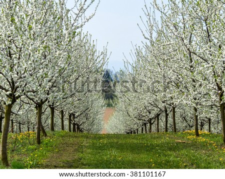 blooming fruit trees in spring - stock photo