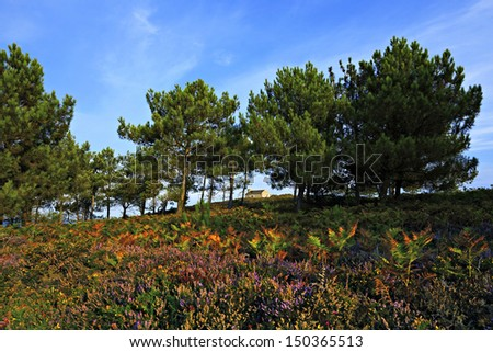 blooming heather, Cap Erquy, Brittany, France - stock photo