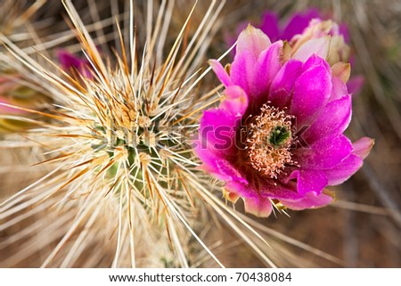 Blooming Hedgehog Cactus covered with 2 inch long spines. - stock photo