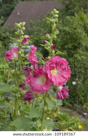 blooming hollyhock in a cottage garden. - stock photo