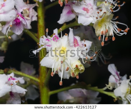 Blooming Horse chestnut, Aesculus hippocastanum, flowers detailed on dark background close-up, selective focus, shallow DOF - stock photo