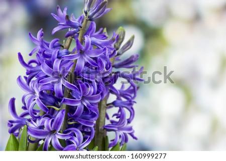 blooming hyacinth flowers (hyacinthus) - stock photo