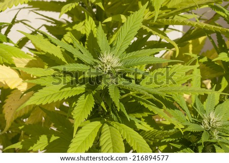blooming hybrid cannabis sativa/indica plant  - stock photo