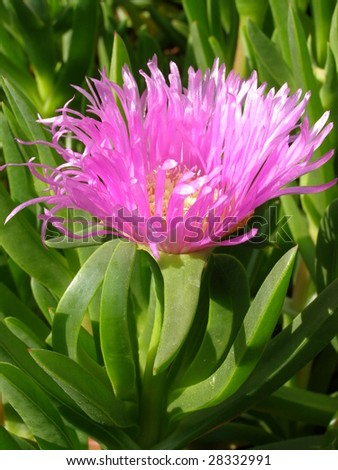 Blooming Ice plant - stock photo