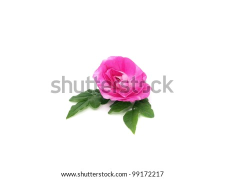 blooming impatiens flower on a white background - stock photo