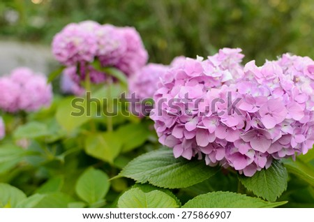 blooming in a garden of pink hydrangea flowers - stock photo