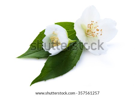 Blooming jasmine, blooming branch of jasmine on a white background - stock photo