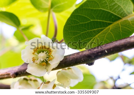 Blooming kiwi fruit plant - stock photo