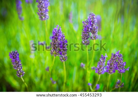 Blooming Lavender bush in a shallow depth of field backlight is soft sunlight filled. Traditional European Mediterranean Agriculture. Blurred summer background of lavender flowers. - stock photo