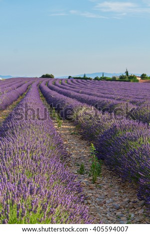 Blooming Lavender field with summer blue sky, France - stock photo
