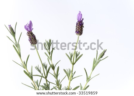 Blooming Lavender on white background - stock photo
