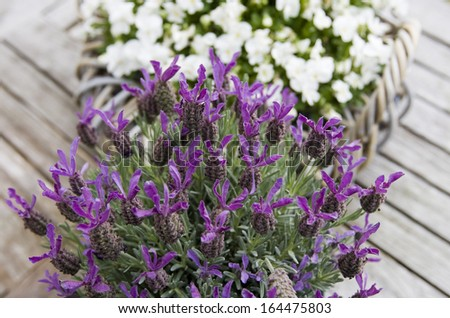 Blooming lavender on wooden table - stock photo