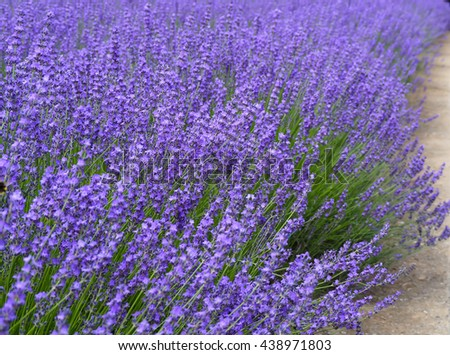 Blooming lavender with soft focus - stock photo