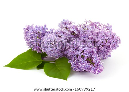 Blooming lilac flowers - stock photo