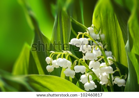 Blooming Lily of the valley in spring garden with shallow focus - stock photo