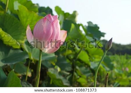 blooming lotus - stock photo