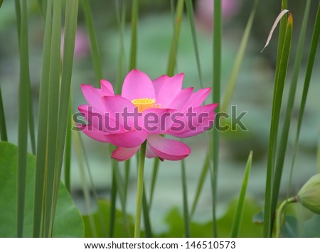 blooming lotus flower - stock photo