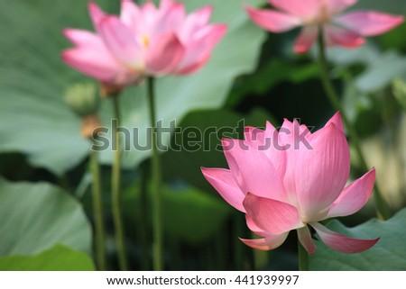blooming lotus flower during summer in Hong Kong - stock photo