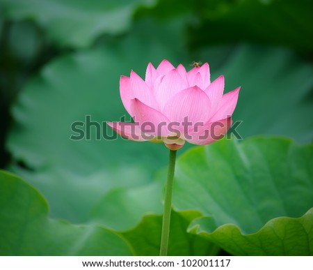 blooming lotus flower over dark background - stock photo
