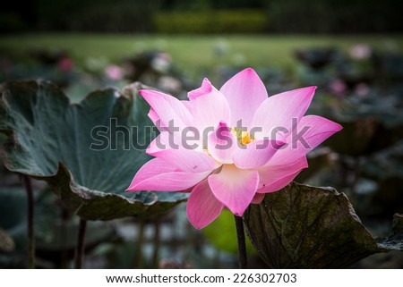 blooming lotus flower over green background - stock photo