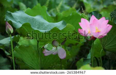 Blooming lotus flowers hiding among lotus leaves - stock photo
