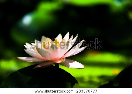 blooming lotus in the pond with morning light - stock photo