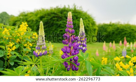 Blooming Lupin flowers - stock photo