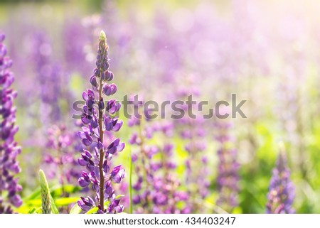 Blooming lupine flowers. A field of lupines. Sunlight shines on plants. Violet spring and summer flowers. Gentle warm soft colors, blurred background. - stock photo
