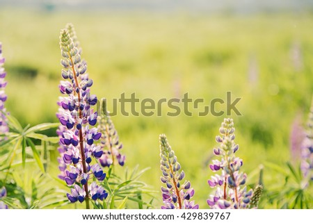 Blooming lupins flowers with copy space - stock photo
