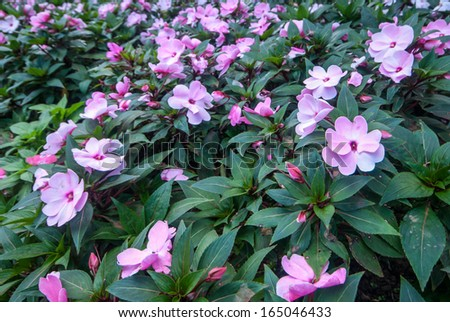 blooming magnolia in the garden, north of Thailand - stock photo
