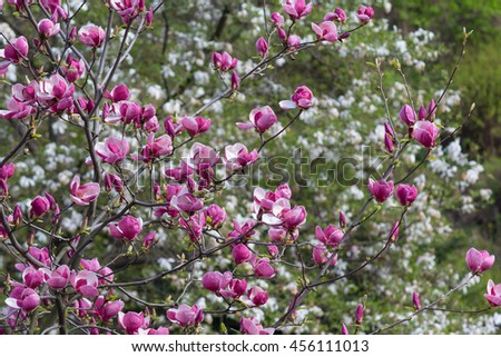 Blooming magnolia tree in the garden. Nature - stock photo