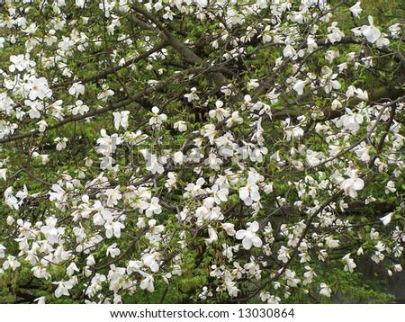 Blooming magnolia trees. - stock photo