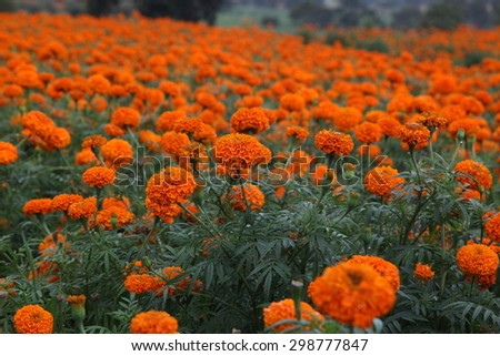 Blooming marigolds in flowerbed on cloudy day at Mysore ,India. - stock photo