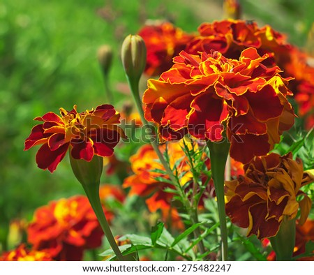 Blooming marigolds (tagetes) in the garden. - stock photo
