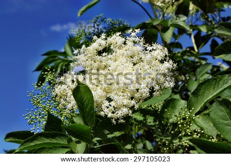 Blooming medicinal elderberry on blue sky background - stock photo