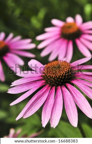 Blooming medicinal herb echinacea purpurea or coneflower - stock photo