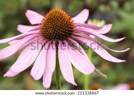 Blooming medicinal herb echinacea purpurea or coneflower, close-up - stock photo