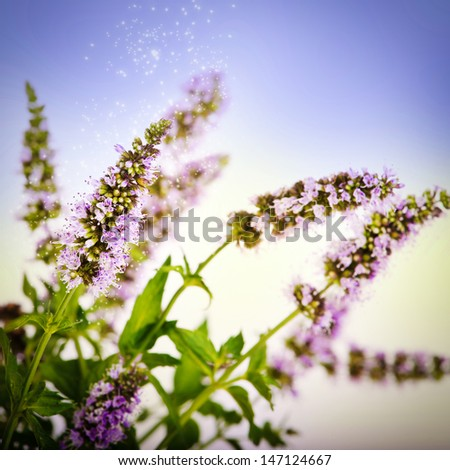 Blooming mint. - stock photo