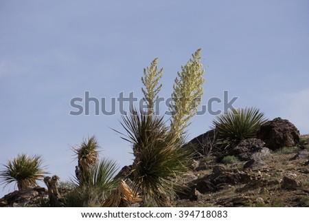 Blooming Mojave Yucca (Yucca schidigera) in Joshua Tree National Park, California - stock photo