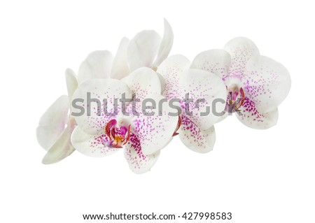 Blooming motley orchid isolated over white background - stock photo