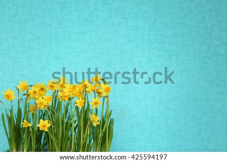 Blooming narcissus flowers on blue wall background - stock photo