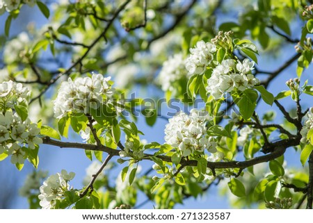 Blooming of pear tree in spring season. Nature background - stock photo