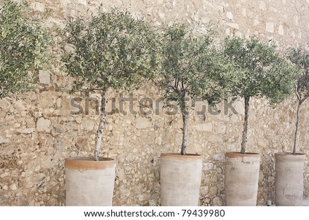 Blooming olive trees in terracotta pots arranged in a row along a cobblestone wall. Horizontal image. - stock photo