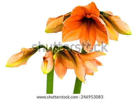 Blooming orange Amaryllis in various states over a white background - stock photo