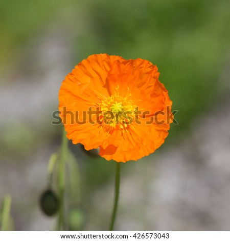 blooming orange poppies close up in spring - stock photo