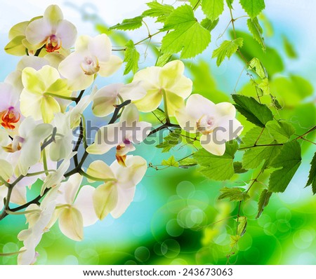 Blooming Orchid.Spring - stock photo