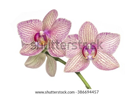 Blooming orchid stem on a white background. Soft focus. - stock photo