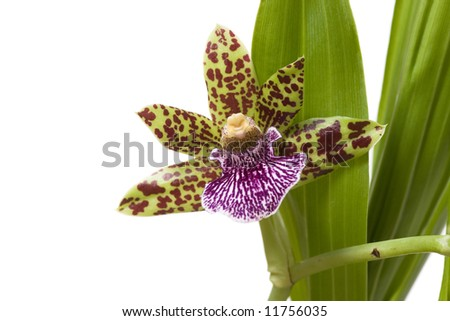 Blooming orchid with cute tiger-striped flowers. - stock photo