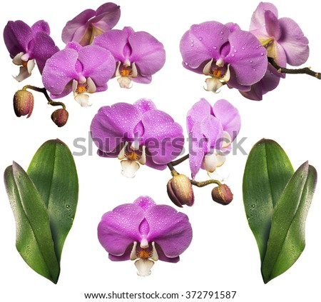 Blooming orchid with dew drops. Collage. Isolated. With leaves - stock photo