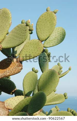 Blooming paddle cactus - stock photo